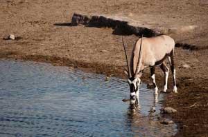 Etosha gazzella beve