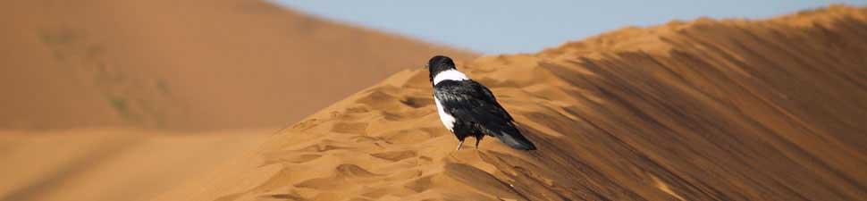 Uccello deserto Namibia
